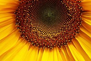 SB Sunflower 1467